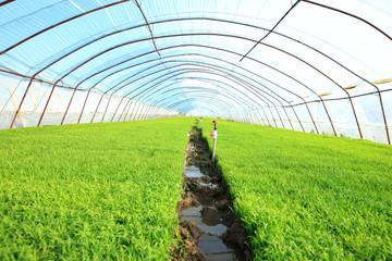 Seedlings of rice in rice fields
