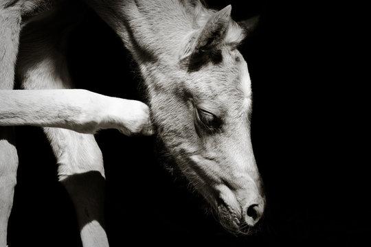 Ein Palomino Stutfohlen kratzt sich