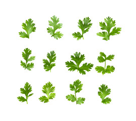 Green coriander leaves on a white background. top view