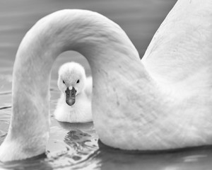 Newborn baby cygnet framed by the submerged neck of the mother mute swan (pen) on Lake Katherine in Palos Heights, Illinois