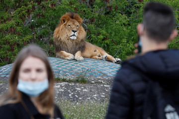 People wearing protective masks watch a lion at Warsaw Zoo