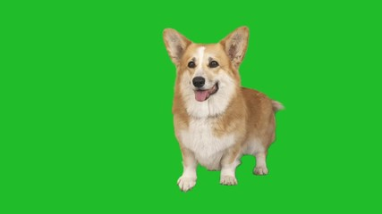 Fototapete - dog stands and looks on a green screen