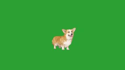 Fototapete - welsh corgi dog standing and looking on green screen