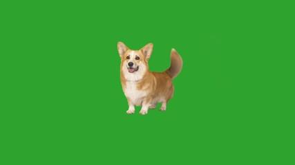 Fototapete - cheerful Welsh Corgi on a green screen