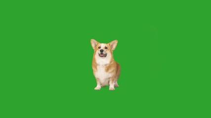 Fototapete - welsh corgi waving tail, looking and barking on a green screen