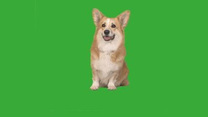 Fototapete - dog is sitting on green screen