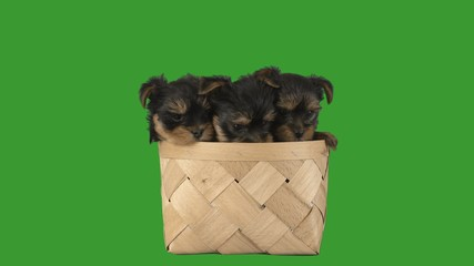 Fototapete - funny little puppies are sitting in a wicker basket and watching on a green screen