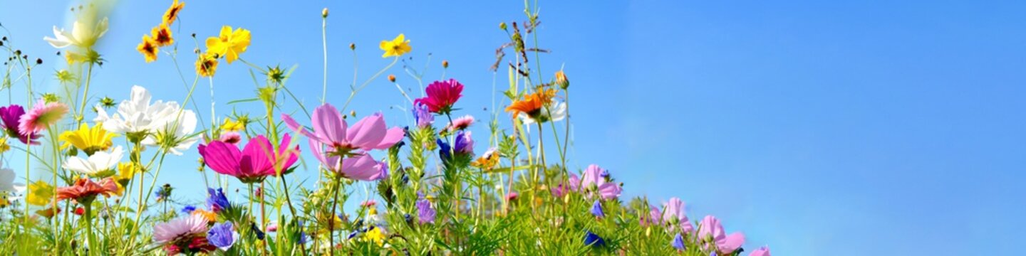 colorful wildflower meadow with blue sky and sunshine - floral summer background banner with copy space