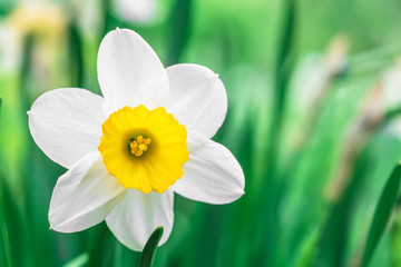 Canvas Prints Narcissus one white flower daffodil on grass background