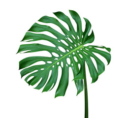 Green monstera leaf with stalk, the tropical plant evergreen vine isolated on white background, clipping path include