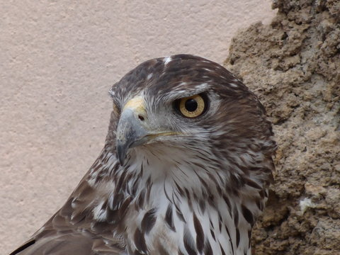 Close-up Of Bonelli Eagle