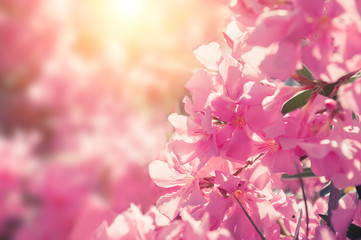 Blooming pink flowers. Macro image, selective focus. Beautiful summer nature background.