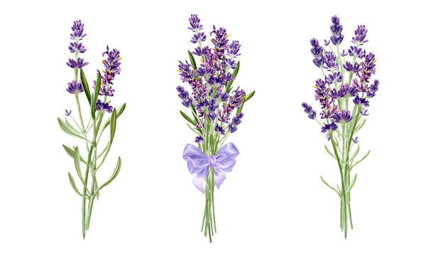 Lavender flowers bouqets collection. Watercolor botanical illustration isolated on white background.