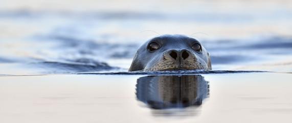 Swimming seal. The bearded seal, also called the square flipper seal. Scientific name: Erignathus barbatus. White sea, Russia.