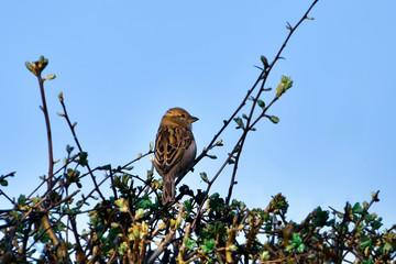 Sparrow sitting on bush branch