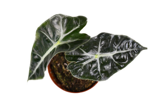 Top view of small exotic 'Alocasia Polly' house plant on white background