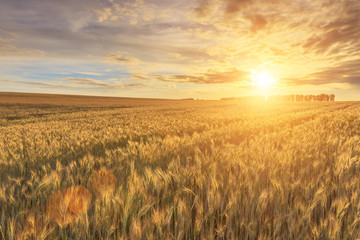 Foto auf Gartenposter Landschappen Scene of sunset or sunrise on the field with young rye or wheat in the summer with a cloudy sky background. Landscape.