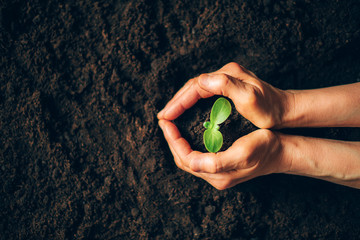 Fototapeta Farmer hand holding young plant. Top view. Banner. New life, eco, sustainable living, zero waste, plastic free, earth day, investment concept. Gospel spreading. Nurturing baby plant, protect nature obraz