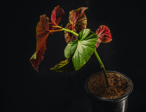 Begonia lucerna or angel wing begonia is a common flowering houseplant