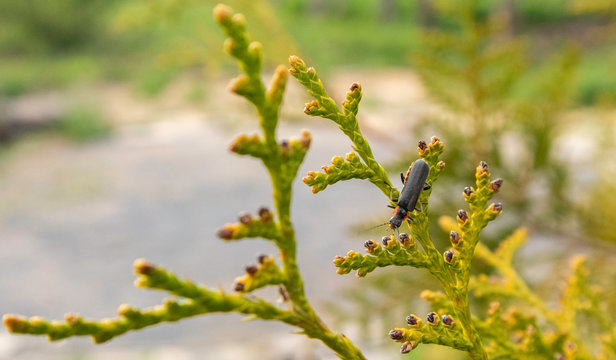 Leaves of Thuja trees on green background. Fireflies are a summer.