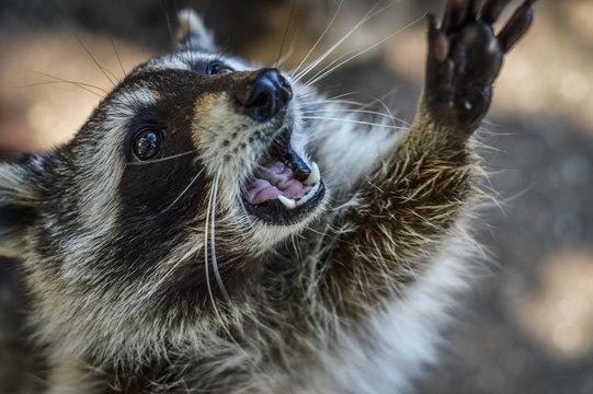 Cute Raccoon portrait close up - Procyon lotor