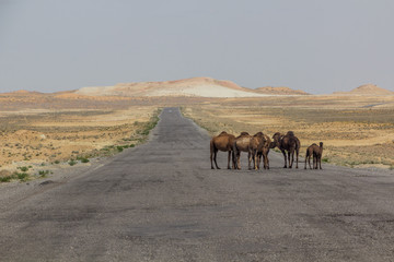 Camels on a road through Karakum desert between Ashgabat and Konye-Urgench, Turkmenistan
