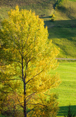 Autumn rural grassy hills and big colorful tree in front