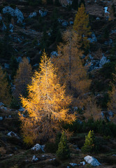 Autumn larch trees in first morning sunlight on dark slope in shadow
