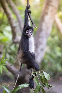 Critically Endangered Nicaraguan sub-species of the Black-handed (Geoffroy's) spider monkey (Ateles geoffroyi geoffroyi), El Salvador, Central America