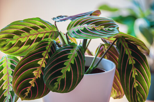 Close-up on the leafs of a prayer plant (maranta leuconeura var erythroneura) in white pot in a sunny urban apartment with other plants in the background.