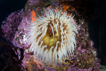A colorful fish-easting anemone, Urticina piscivora, grows in a lush kelp forest along the California coast. Kelp forests support a surprising and diverse array of marine biodiversity.