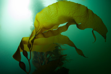 Giant kelp, Macrocystis pyrifera, grows in the cold eastern Pacific waters that flow along the California coast. Kelp forests support a surprising and diverse array of marine biodiversity.