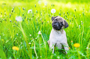 Curious pug puppy sits on summer green grass and looks and camera tilting head. Empty space for text Fotobehang
