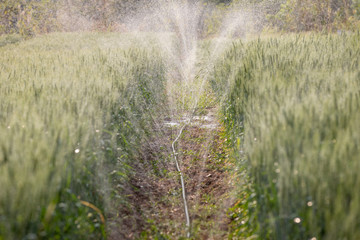 Water tape watering rice fileds barley and system watering in farm agricultural plants,barley in field conversion test