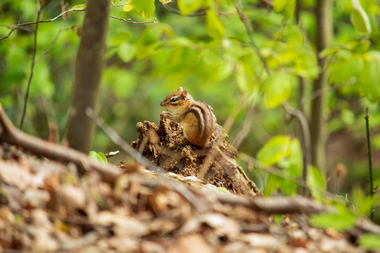 Chipmunk sitting on a tree stump