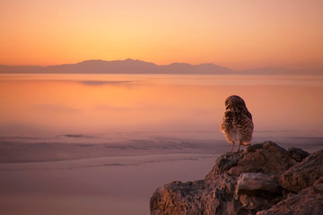Foto op Plexiglas Zalm Burrowing owl enjoys the sunset at the Salton Sea, California.