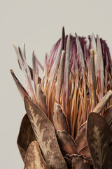 Dried pink protea with leaves on a gray background
