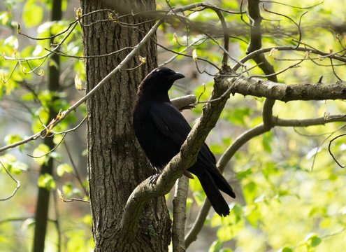 Crow on a branch in a forest