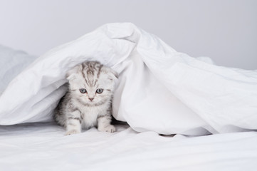 Kitten lying at home under the covers