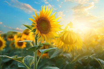 Beautiful sunflower field on summer day