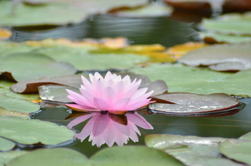Poster de jardin Nénuphars 水面に咲く蓮の花