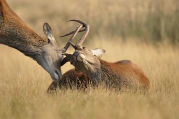 Photo sur Toile Cerf Face to face with Red deer cervus elaphus