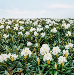 Meadow of blooming white rhododendrons.