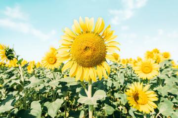 Yellow blooming sunflowers field.