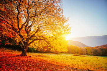 Wall Mural - Beautiful sunny day and alone beech tree. Colorful foliage in the autumn park.