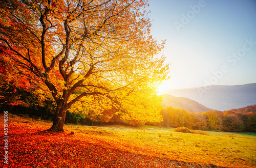 Wall mural Beautiful sunny day and alone beech tree. Colorful foliage in the autumn park.