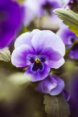 Papiers peints Pansies white and purple flower macro in the spring garden