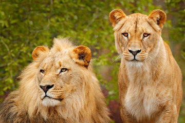 Pair of African lions, Panthera leo, detail of big animals with evening sun, Chobe National Park, Botswana, Africa. Cats in nature habitat. Greeting of male and female. Portraits of big cats.