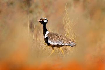 Fotomurales - Southern black korhaan bustard, Afrotis afra, bird in the grass, morning light, okavango delta, Moremi, Botswana. Wildlife scene from African nature. Sunrise in nature.