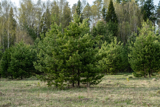 young pine trees at the edge of the forest on a spring day